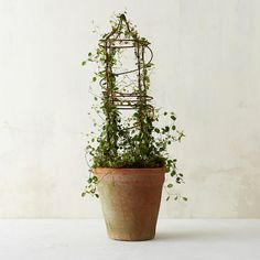 """Wispy Muehlenbeckia, commonly known as Angel Vine, climbs a tall wire trellis to form this graceful topiary.- Angel vine, soil, 10 gauge wire trellis, clay pot- Water regularly, keeping soil evenly moist- Place in bright, indirect sunlight- Prune as needed to retain shape- Drainage hole not included- USA23""""H, 6.5"""" potOrder by 10A EST on Monday, 11/23 for delivery by Thanksgiving.Order by 10A EST on Monday, 12/21 for delivery by Christmas."""