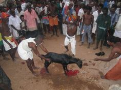 """Animal-sacrifice-by-Arunankapilan  Under the Indian Penal Code it is illegal to kill animals anywhere but in registered slaughterhouses. A member of the Animal Welfare Board of India, Taanya Ravi, obtained photographic evidence of throngs of goats, sheep and chicken being brought to the temple to be sacrificed. She says """"the sacrifice was conducted in front of the police, almost as if under their supervision."""""""