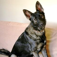 Lyla is a German Shepherd available to adopt from the charity German Shepherd Dog Rescue http://www.charitychoice.co.uk/blog/six-specialist-dog-breed-rescue-shelters/99