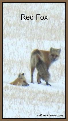 Red Fox, RM Montmartre, Saskatchewan, March 2018. Credit: Anita Mae Draper Canadian Wildlife, Red Fox, March, Blog, Photos, Animals, Image, Pictures, Animales