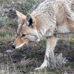 US-info. End the Taxpayer Funded War on Wildlife! Wildlife Services also endangers people and companion animals, exposing them to poisons, traps and snares! Rescue Dogs, Animal Rescue, Save Wildlife, Silver City, Climate Action, Fire Powers, Environmental Issues, Animal Welfare, Habitats