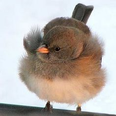 Might be a junco. It's definitely round and fluffy.