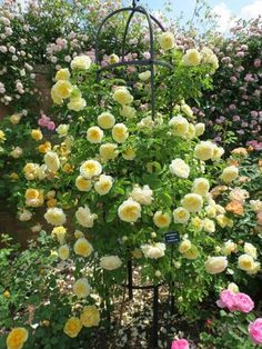 David Austin Roses: Obelisk smothered in a delightful Rose