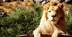 I'm a lion, rawr! Long Hair Problems, Lion And Lamb, Dragon's Lair, Cute Baby Animals, Funny Cute, Camel, Wildlife, Creatures, Long Hair Styles