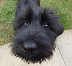 Love my giant schnauzer! May I have your attention please? I'd like to introduce myself. I'm a schnauzer. Your life will now never be the same again. Black Schnauzer, Standard Schnauzer, Giant Schnauzer, Schnauzer Puppy, Cute Puppies, Cute Dogs, Dogs And Puppies, Doggies, Schnauzer Gigante