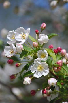 άνθη μηλιάς, fiori di melo, flores de manzana, apple blossoms