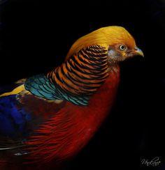 Golden Pheasant (Chrysolophus Pictus).