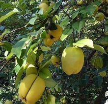 Jardín de DIY planta 40 semillas frescas de membrillo japonés Chaenomeles japonica semillas de árboles frutales Hardy fragante envío gratis(China (Mainland))