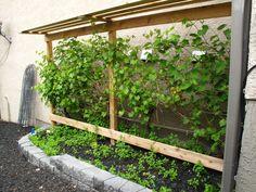 3 Year Old Grape Vines For Sale Grow your own grapes in Alberta with a grape vine trellis. Pergola Garden, Garden Chairs, Garden Pots, Garden Ideas, Grape Vine Trellis, Grape Vines, Gardening Zones, Container Gardening, Gardening Vegetables