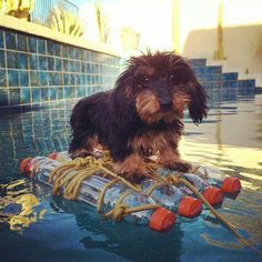 The humans will do anything for me. It is called training. Dachshund Breed, Baby Dachshund, Dapple Dachshund, Wire Haired Dachshund, Daschund, Dachshunds, Lovely Creatures, Dog Rules, Cutest Thing Ever