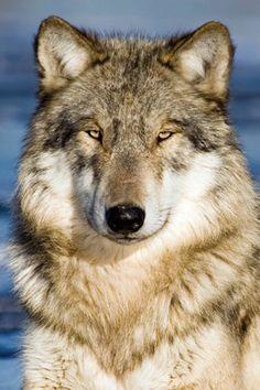 Our Ambassador wolves – Wolf Park: Wotan (male)