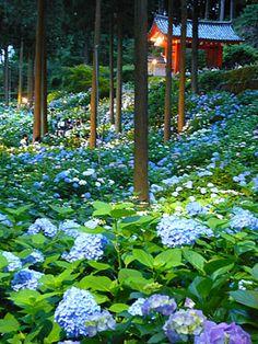 Mimuroto-ji, hydrangea 三室戸寺 あじさい