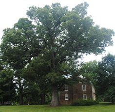The Old Oak, which is a white oak tree and is located on the campus of Tusculum College, is listed on the Tennessee Urban Forestry Council's Tennessee Landmark and Historic Tree Register.  The tree predates the college as it is 250 to 300 years old.