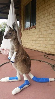 A kangaroo being repaired after a bushfire in Western Australia