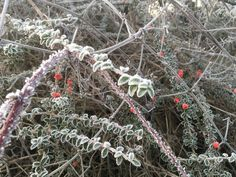 Frosty berries Jan 18