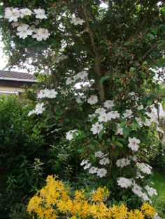 Clemetis, Guernsey Cream.  This clemetis has grown high into my crab apple tree.