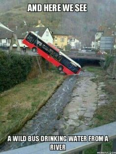 and here we see a wild bus drinking water from a river