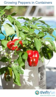 This is a guide about growing peppers in containers. Most pepper plants will thrive in a container.