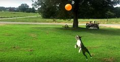Check out this Little Obsessed Boston Terrier Playing a Fun Balloon Game! ► http://www.bterrier.com/?p=29717 - https://www.facebook.com/bterrierdogs