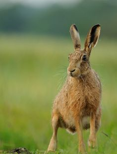 194. Brown Hare   * (gebruikt bij chocola maken chocolade gieten rechts vooraan) *