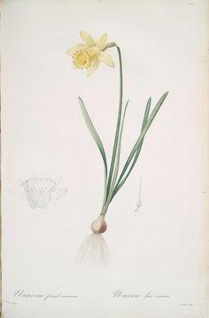 Daffodil: new beginnings