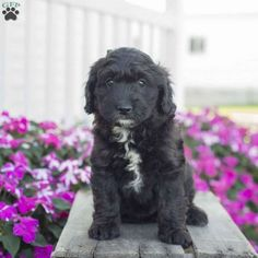 28 Best Mini Bernedoodles images in 2019 | Puppies for sale, Cute
