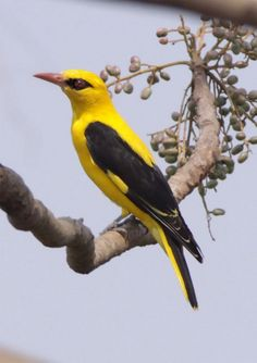 Indian golden oriole (Oriolus kundoo)  is found in the Indian subcontinent and Central Asia.  |  Oriolidae family