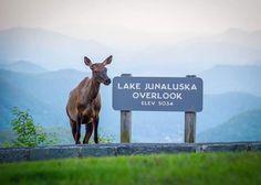 Blue Ridge Parkway Lake Junaluska, Wind In My Hair, Blue Ridge Parkway, Close My Eyes, Moose Art, Animals, Community, Age, Spaces