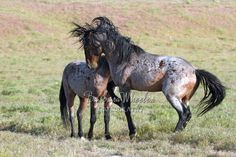 Utah Wild Horses B116699  Just how often can you find TWO bay roans stallions sparring?  NOT often.  Check out my website for products with this photo.