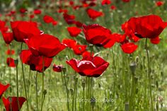 intensely red poppies Greece, Nina Miller