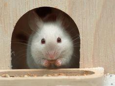 White Mouse in Hutch Stampa di Petra Wegner su AllPosters.it