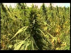 Hemp Produces Fuel Pellets Equal To Wood Pellets Earth's Best, Wood Pellets, Wheat Grass, Environmental Issues, Save The Planet, Cannabis, Waiting, Herbs, Greenhouses