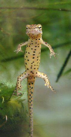 Vesilisko on pieni salamanterieläin. Se ei ole lisko, vaan sammakoille sukua oleva salamanteri. Vesiliskot ovat muodoltaan liskomaisia otuksia joilla on neljä raajaa