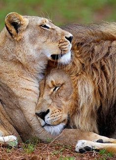 King & Queen lion