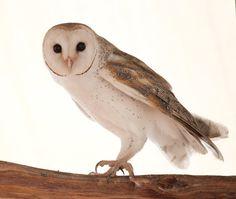 Australian Barn Owl by 88-Lawstock.deviantart.com on @deviantART