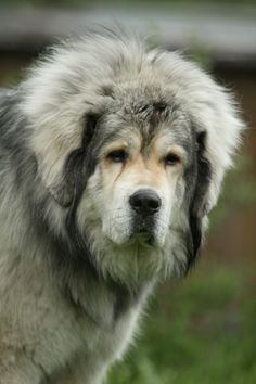 Tibetan Mastiff.  I miss my Neehma girl terribly. :(