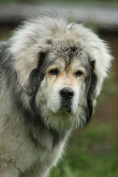 Tibetan Mastiff.  I miss my Neehma girl terribly. :(