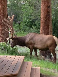 Elk in Estes Park. We were in Estes this morning. Elk are everywhere.