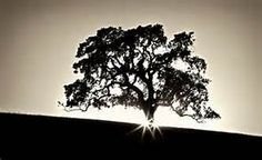 oak tree christmas - - Yahoo Image Search Results