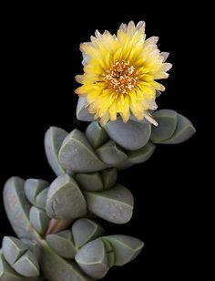 Delosperma lehmannii_1 | Iannis Sigalas | Flickr
