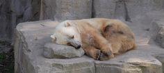 Polar Bear + Brown Bear = Grolar Bear | The 14 Coolest Hybrid Animals