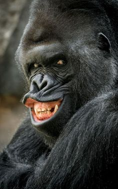 World's most flirtatious animals pictured in hilarious online gallery Richard the photogenic Gorilla at Prague Zoo grins his charming smile while giving a bit o. Nature Animals, Animals And Pets, Baby Animals, Funny Animals, Cute Animals, Smiling Animals, Wild Animals, Strange Animals, Primates