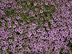 Thymus serpyllum (Kruiptijm, Kleine tijm, Wilde tijm) | Tuinwinkel.nl