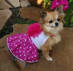""""""" I See Spot's Pink and White Polka Dotted Daisy Party Dress Sizes Available: (See Chart Below) Choose the next size up if your pet is in between sizes 4 sizes av Long Haired Chihuahua, Chihuahua Puppies, Baby Puppies, Cute Puppies, Cute Dogs, Chihuahuas, Pomeranians, Yorkies, Daisy Party"""