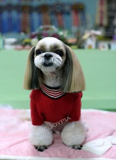 Korean Dog Grooming Style — Shih Tzu