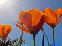 Three Poppies – the California poppy, official flower of the State of California, seen shining proudly in the sun at the South Coast Botanic Garden, on LA's beautiful Palos Verdes peninsula.