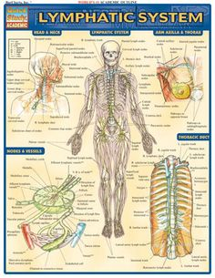 This 2-page guide includes complete, labeled illustrations of the parts of the lymphatic system in nine different views and sections. Browse and download thousands of educational eBooks, worksheets, teacher presentations, practice tests and more at Examville.com - The Education Marketplace (http://w