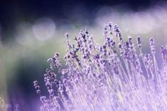 Jak na hluboký spánek? Pořiďte si do ložnice jednu z těchto 5 rostlin Raised Bed Garden Design, Small Garden Design, Anxiety Remedies, Natural Remedies For Anxiety, Lavender Sleep Spray, Growing Lavender, Peppermint Tea, Best Essential Oils, Aromatherapy Oils