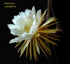 Selenicereus grandiflorus is a cactus species originating from the Antilles, Mexico and Central America. The species is commonly referred to as Nightblooming Cereus, Queen of the Night (though these two terms are also used for other species), Large-flowered Cactus, Sweet-Scented Cactus or Vanilla Cactus. The true species is extremely rare in cultivation. Most of the plants under this name belong to other species or hybrids.