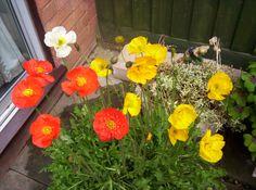 Pauline's Flowers - Californian Poppies.